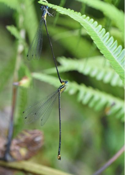 New damselfly found in central Vietnam